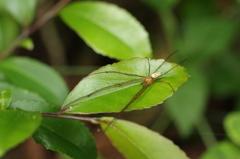 葉上のオオシロカネグモ