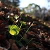春待ち菫の輝く葉