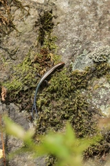 石垣の二尾トカゲ