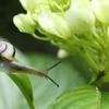 紫陽花のカタツムリ