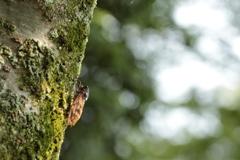 桜のアブラゼミ