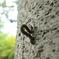 欅のシャクトリムシ