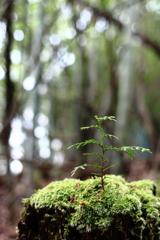 切株の幼木