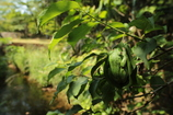 茂みのモリアオガエル