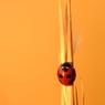 秋色のナナホシテントウ