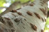 桜のキマダラカメムシ