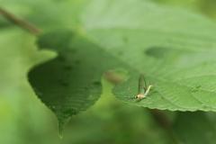 葉上のフタスジモンカゲロウ