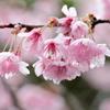 満開の初御代桜