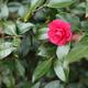 紅色の山茶花