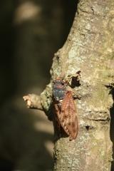 樹皮のアブラゼミ