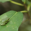 葉上のシュレーゲルアオガエル