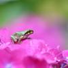 ピンクの紫陽花と(チビガエル 12)