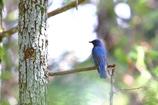 青い鳥 1