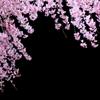 桜咲く 3