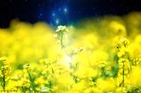 スバル菜の花