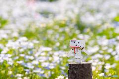 ネモフィラ@昭和記念公園
