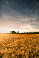 麦畑で麦秋
