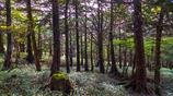 クマザサの森
