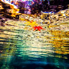 水面に漂うモミジ