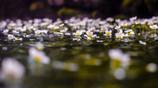 水面上の梅花藻
