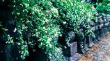 萩、みだれ咲く