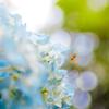 紫陽花ウォーカー