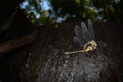 コシボソヤンマ交尾飛翔