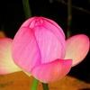 桃 (蓮の蕾)