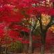 真紅の季節