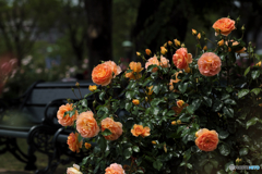 薔薇の花咲く散歩道