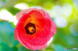 午後のユーナの花(ハマボウ)