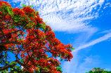 梅雨の中休み 鳳凰木