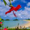 赤花(アカバナー)