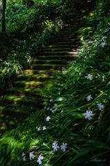 シャガの階段