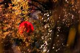晩秋の秘めたる愛