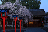 魁桜--京の桜便り 02