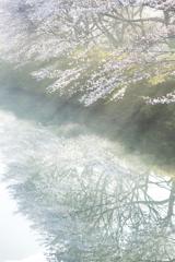 水面に映る光と桜