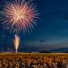 ひまわり畑に咲く花火
