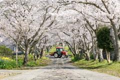 桜トンネルとトラクター