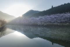 桜と迎える朝