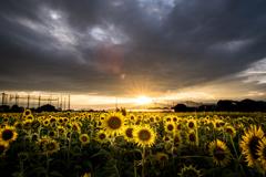 sunset light and sunflower
