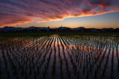 Orange paddy field