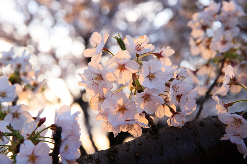 朝日桜 其の二