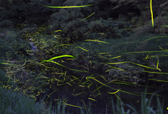渓流のゲンジホタル