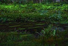 ホタルの川辺