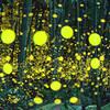 竹林のヒメボタル