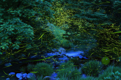 渓流のゲンジボタル