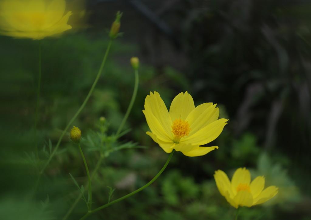 季夏 キバナコスモス Ⅱ