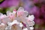 シャクナゲ満開に咲いていたからパシャリ|_・)