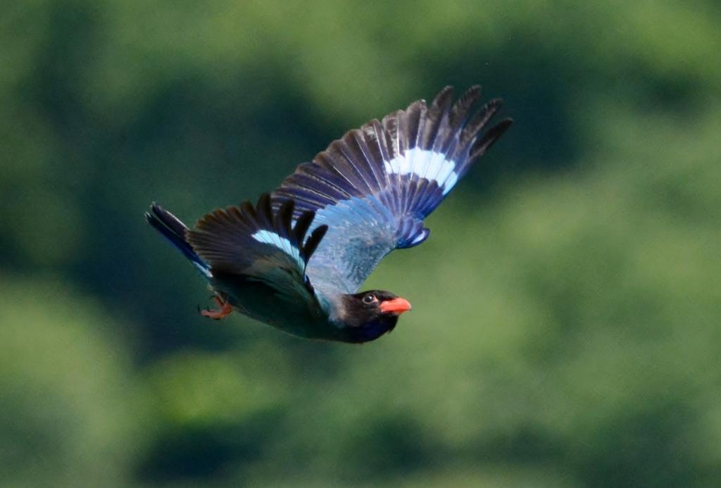 森の宝石カッコよく飛んでいたからパシャリ _・)